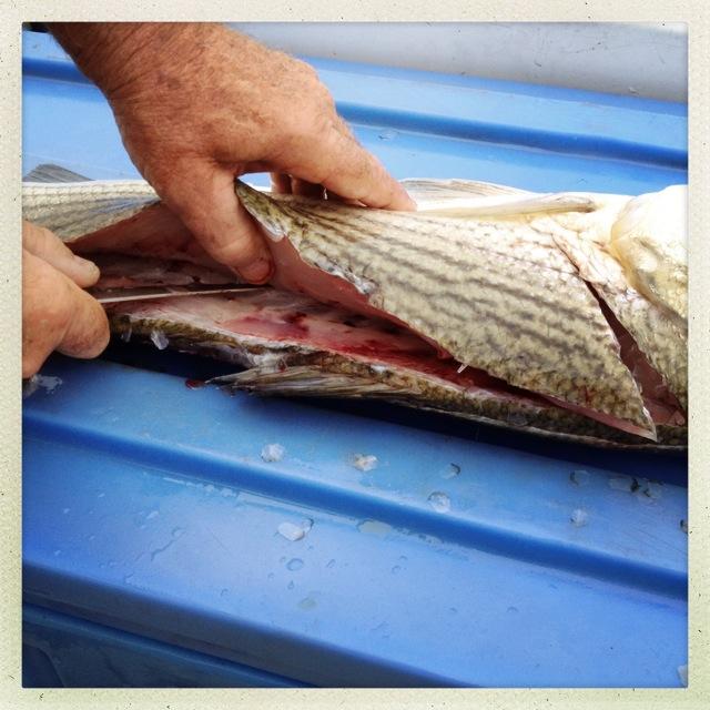 Shark Attacks, Cape Cod, Ceviche